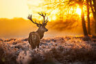 Stag Deer Antlers Animal Forest Sun Sunset Canvas Pictures Wall Artwork Print