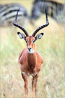 Poster / Leinwandbild Portrait of a male impala, Aepycero... - J. Petersburger