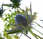 FRESH CUT BLUE ERYNGIUM SUPERNOVA SCOTTISH THISTLE FLOWERS - SENT BY COURIER