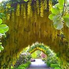 GOLDEN CHAIN TREE Laburnum anagyroides 10, 50, 500, 1000 seeds