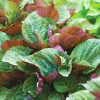 PERILLA  SHISO  BI-COLOUR 1.0 GRAM  APPROX 385 SEEDS (10 GM AVAILABLE)