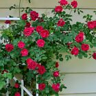Deep Red climbing rose 20, 200 or 2000 seeds