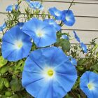 MORNING GLORY HEAVENLY BLUE untreated 1 oz, 4 oz,  8 oz, 1 lb or 2 pound seeds