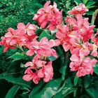 CANNA LILY Tropical Rose dwarf plant 10, 50, 100, 500, 1000 seeds