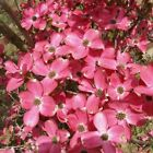 RED FLOWERING DOGWOOD cornus CHEROKEE CHIEF 10 seeds to 2 pounds of seeds