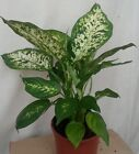 Leopard Lily Indoor House Plant  - dieffenbachia - Evergreen Office 40 cm Tall