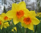 DWARF DAFFODIL NARCISSUS YELLOW GARDEN AUTUMN BULBS SPRING FLOWERING CORM PLANT