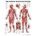 Anatomical Chart Company The Female Muscular System - 20'' x 26''