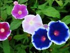 Flower Seed: Early Call Morning Glory Seeds  Fresh Seed  FREE Shipping