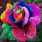 50Pcs Flower Seed Holland Rose Seed Lover Gift Blue Green Purple Rainbow Colors