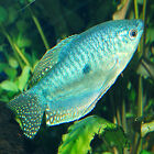 Live Tropical Aquarium Fish for Sale - Blue Gourami - Bundles 1 - 20
