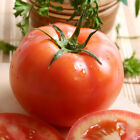 Tomato Seed: Big Beef Tomato Seeds Fresh Seed FREE Shipping