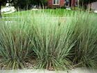 50+ - 50 lb Little Bluestem Seed - Native Warm Season Grass - FREE Shipping PLS