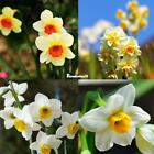 20 Double Narcissus Bulbs Scented Pastel Mixed Daffodil Spring Flower Seed