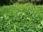 1/4 - 50 lb Food Plot Mix - Radish Turnip Ladino/Red Clovers Chicory - Deer Game