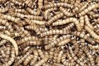 Live Superworms 5% Overstock On All Orders Guaranteed Live Arrival